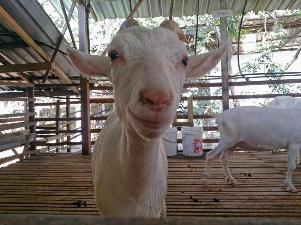 Goat Farm 1